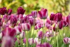 Fiore variopinto del tulipano Immagini Stock