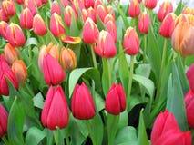 Fiore variopinto del tulipano Fotografia Stock Libera da Diritti