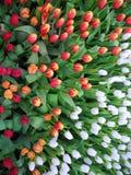 Fiore variopinto del tulipano Fotografia Stock