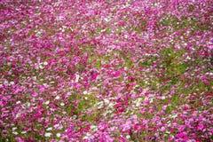 Fiore variopinto dell'universo Fotografia Stock Libera da Diritti