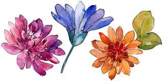 Fiore variopinto della margherita africana dell'acquerello Fiore botanico floreale Elemento isolato dell'illustrazione royalty illustrazione gratis