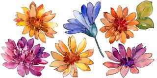 Fiore variopinto della margherita africana dell'acquerello Fiore botanico floreale Elemento isolato dell'illustrazione illustrazione di stock