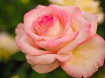 Fiore variopinto della rosa di rosa per il biglietto di S. Valentino Fotografie Stock Libere da Diritti