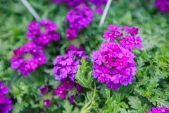Fiore variopinto della sorgente Immagini Stock Libere da Diritti
