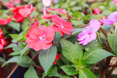Fiore variopinto della sorgente Fotografia Stock