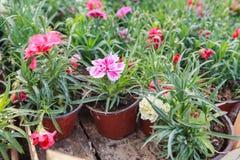 Fiore variopinto della sorgente Fotografia Stock Libera da Diritti