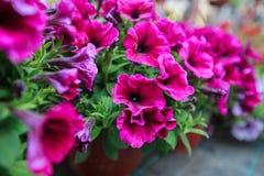 Fiore variopinto della sorgente Fotografie Stock Libere da Diritti
