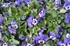 Fiore variopinto Fiorisca in giardino al giorno soleggiato della primavera o dell'estate Fotografie Stock