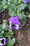 Fiore variopinto Fiorisca in giardino al giorno soleggiato della primavera o dell'estate Immagini Stock