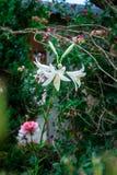 Fiore variopinto in giardino Immagine Stock