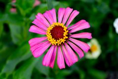 Fiore variopinto nel giardino fotografie stock