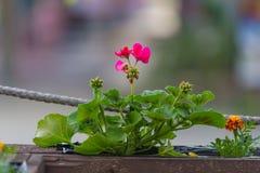 Fiore in vaso di legno marrone Fotografia Stock