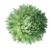 Fiore verde chiaro dell'aster isolato su fondo bianco con il percorso di ritaglio Primo piano nessun ombre Fotografie Stock