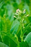 Fiore verde del tabacco del primo piano in tabacco fied Fotografia Stock