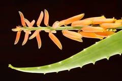 Fiore verde fresco di Vera dell'aloe con la foglia Immagini Stock Libere da Diritti