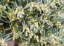 Fiore verde oliva in un oliveto Immagini Stock