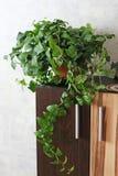 Fiore verde in un vaso da fiori Pianta d'appartamento immagini stock