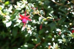 Fiore vibrante di fushia Immagini Stock