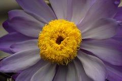 Fiore Viola. Taken in the Kew garden in London Royalty Free Stock Photo