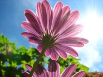 Fiore viola Fotografia Stock