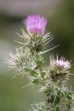 Fiore viola 2 del cardo selvatico Fotografia Stock Libera da Diritti