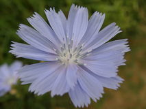 Fiore viola Immagini Stock Libere da Diritti