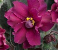 Fiore viola Immagini Stock