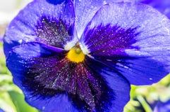 Fiore - viola Fotografia Stock