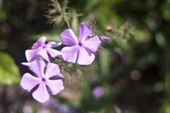 Fiore viola Fotografia Stock Libera da Diritti