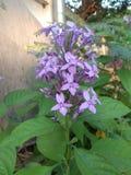 Fiore viola accanto alla parete fotografia stock libera da diritti