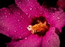 Fiore viola bagnato Immagine Stock
