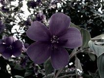 Fiore viola con cinque petali fotografia stock