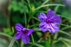 Fiore viola con fondo verde in un giardino della casa Fotografia Stock