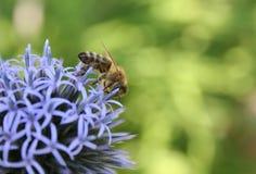 Fiore viola con un ape Fotografia Stock Libera da Diritti