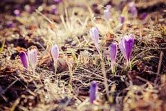 Fiore viola - croco Immagine Stock Libera da Diritti