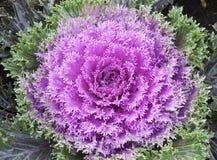 Fiore viola del cavolo Fotografia Stock Libera da Diritti