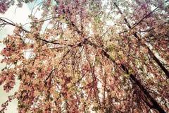 Fiore viola del cavolo Fotografia Stock