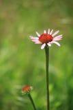 Fiore viola del cono (purpurea del Echinacea) Fotografia Stock Libera da Diritti