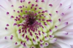 Fiore viola del crisantemo Fotografie Stock