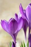 Fiore viola del croco Fotografie Stock Libere da Diritti