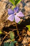 Fiore viola del giacimento della primavera Fotografia Stock