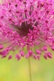Fiore viola del giardino Immagine Stock