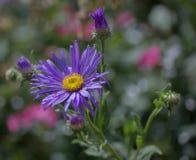 Fiore viola del giardino Fotografie Stock