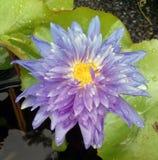 Fiore viola del loto Fotografie Stock