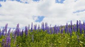 Fiore viola del lupino sul fondo del cielo archivi video
