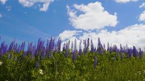 Fiore viola del lupino sul fondo del cielo video d archivio