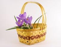 Fiore viola del tulipano in cestino Immagini Stock