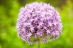 Fiore viola dell'allium Fotografia Stock