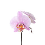 Fiore viola dell'orchidea Fotografia Stock Libera da Diritti
