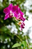 Fiore viola dell'orchidea con il fondo verde della natura Fotografie Stock